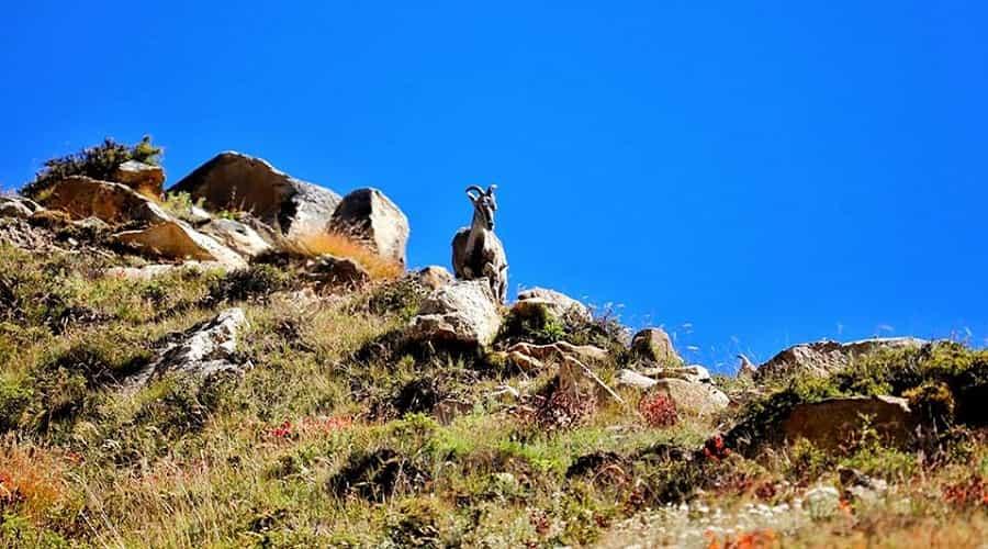 Himalayan Tahr En-Route to Bhojbasa