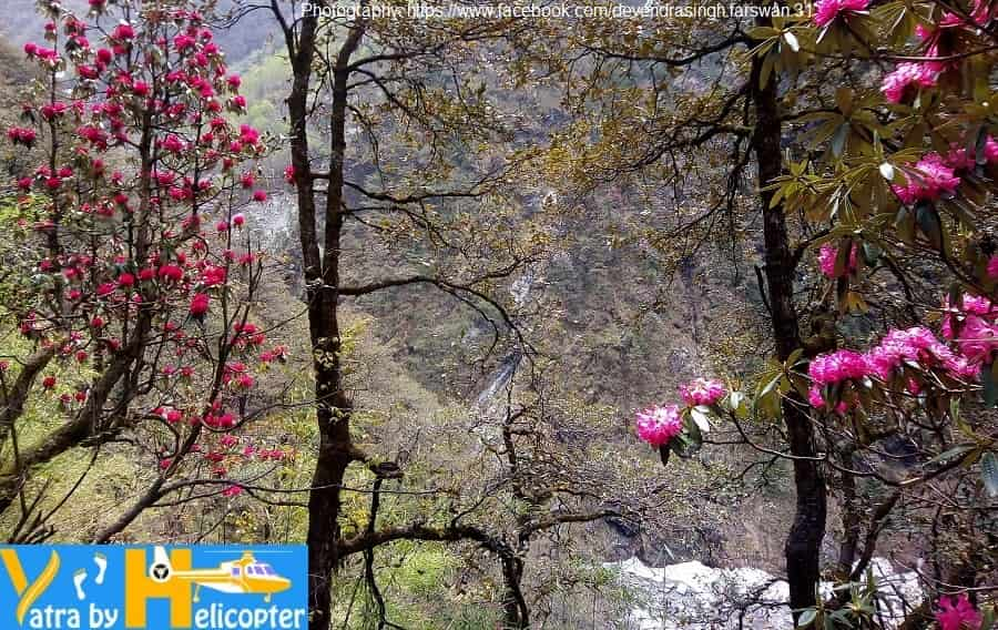 Rhododendron or Burans Flowers on the both side of Yamunotri Trek